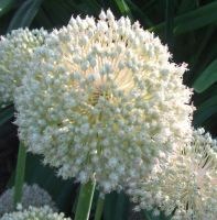 Allium ampeloprasum white cloud