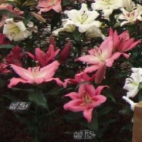 Chelsea special's Pink/white 'Tree Lily' mix pack of 10 bulbs.