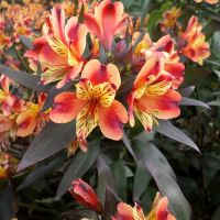 Alstroemeria - More