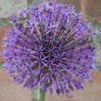 Allium Akbulak