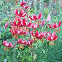 Martagon Lily bulbs - Shop Now