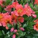 Alstroemeria_Holiday_Valley_3.jpg