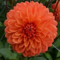 Dahlia Small Decorative - Shop Now