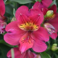 Alstroemeria plugs - Shop Now