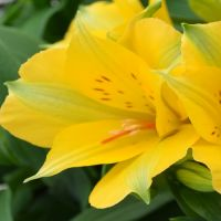 Alstroemeria Princess Lisa