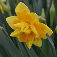 Narcissus Jersey Star