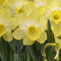 Narcissus Fellow's Favorite