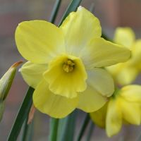 Narcissus Regeneration