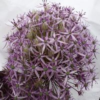 Allium Metalic Shine