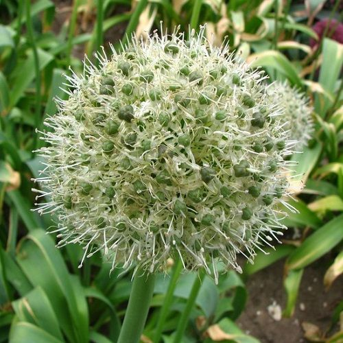 Allium backhousianum  Green Craze