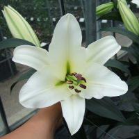 A1 Bargain 'Tree Lily' mix