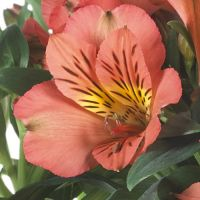 Alstroemeria Princess Elaine Orange