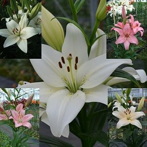 Pastel Fragrance lily bulb collection