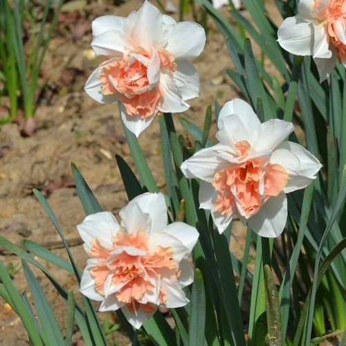 story of narcissus flower