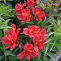 Alstroemeria_Summer_Red_1.jpg