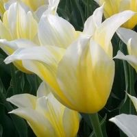 Tulips Lily Flowered - Shop Now