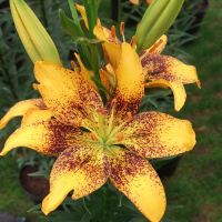 Tiny Series Lilies - Shop Now