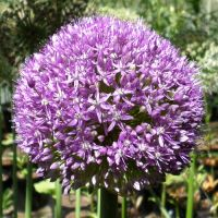 Alliums - More
