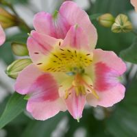 Alstroemeria Garden Jewel Peaches