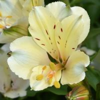 Alstroemeria Summer Snow
