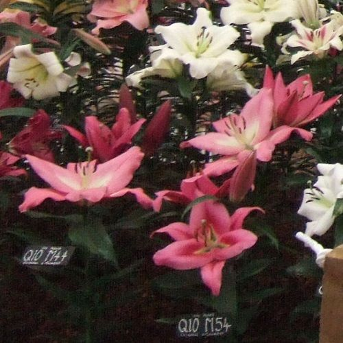 Chelsea special's Pink/white 'Tree Lily bulbs' pack of 10