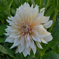 Dahlia Giant Decorative - Shop Now