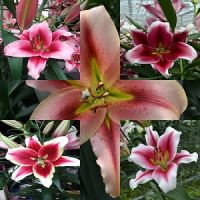 Bicoloured 'Tree Lily bulbs' pack of 7 Lily