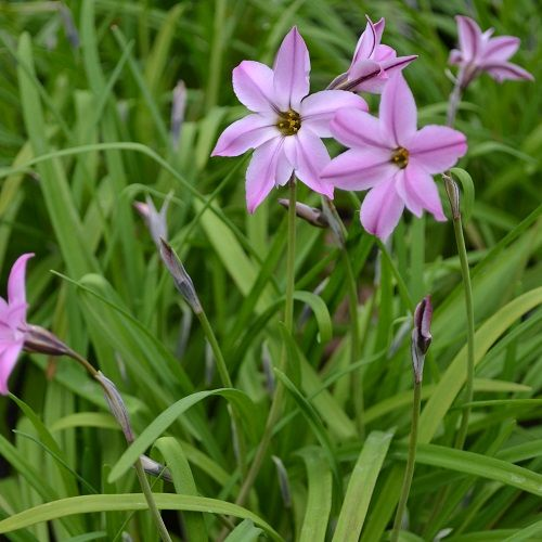 Ipheion ''Charlotte Bishop''