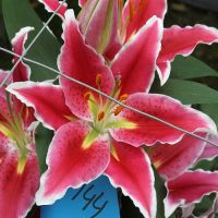 New age Pot Oriental lily bulbs