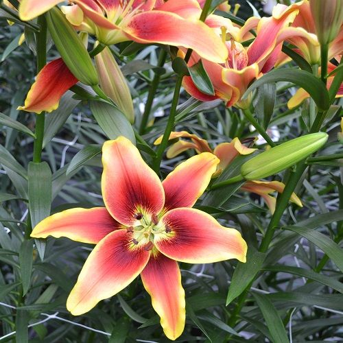Lily Avalon Sunset