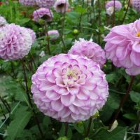 Dahlia Ball - Shop Now