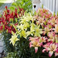 Easy life asiatic lily bulb collection