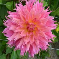 Dahlia Fimbriata - Shop Now