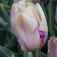Tulips Single - Shop Now