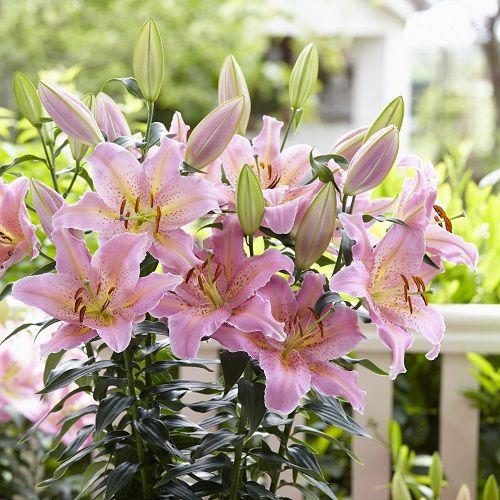Lily Bulbs Spring Romance Dwarf Oriental Lilies H W