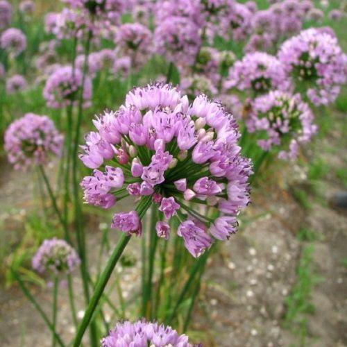 Summer Beauty: Allium Angulosum Summer Beauty::Allium Speciality::H.W
