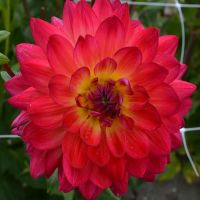 Dahlia Waterlily - Shop Now