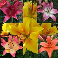 The Tiny's asiatic lily bulbs pack of 10
