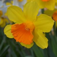 Narcissus large flowered - Shop Now