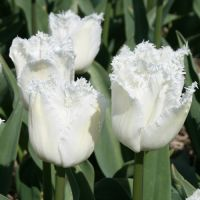 Tulips Fringed - Shop Now