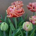tulip_copper_image_3.jpg