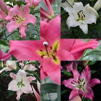 A4 Pink/white 'Tree Lily' mix pack of 7 bulbs.
