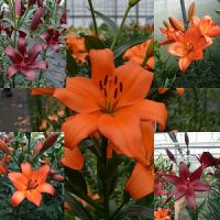 Summer sizzlers lily bulb collection