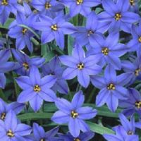 Ipheion ''Jessie''