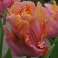 Tulips Parrot - Shop Now