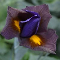 Dutch Iris - Shop Now