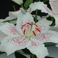 Lily Muscadet
