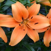 Lily Sunset Boulevard
