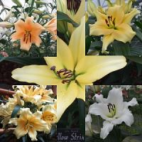 White/yellow 'Tree Lily bulbs' pack of 7 bulbs.