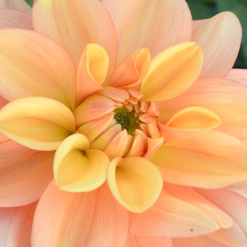 Dahlia Ginger Snap